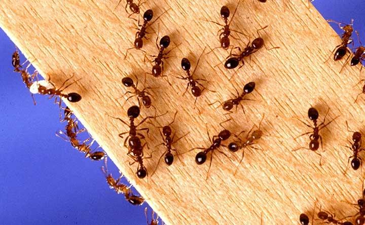 Anche le formiche hanno il microbioma intestinale, eccone il ruolo
