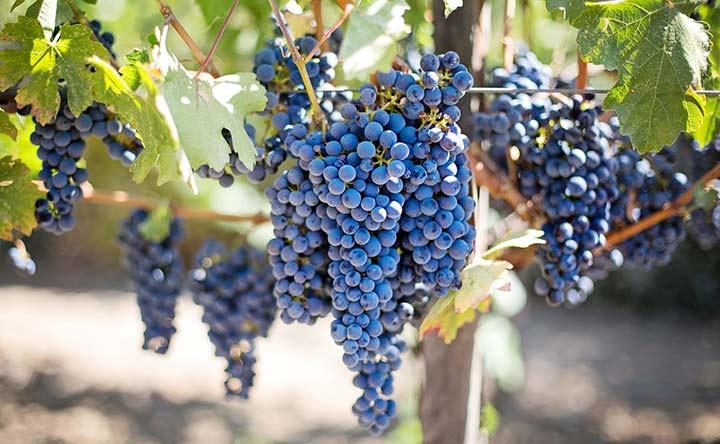Gli innumerevoli benefici dell'Uva per l'intestino e non solo