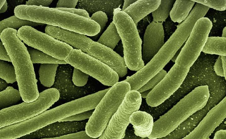 L'escherichia coli ha un clone farmaco-resistente
